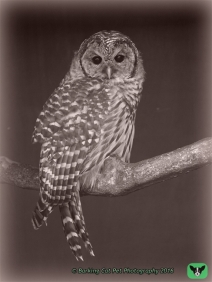 watermarked-Barred Owl, 23 Aug 13