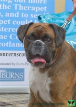 Bruce the Boxer, winner of the Spencer Award for Therapet of the Year