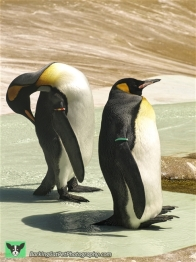 watermarked-Penguin 7.1